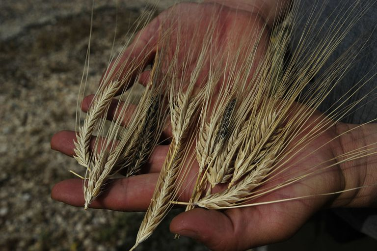 Barley landraces in southeast Turkey