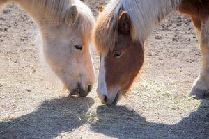 Norwegian horses eating hay