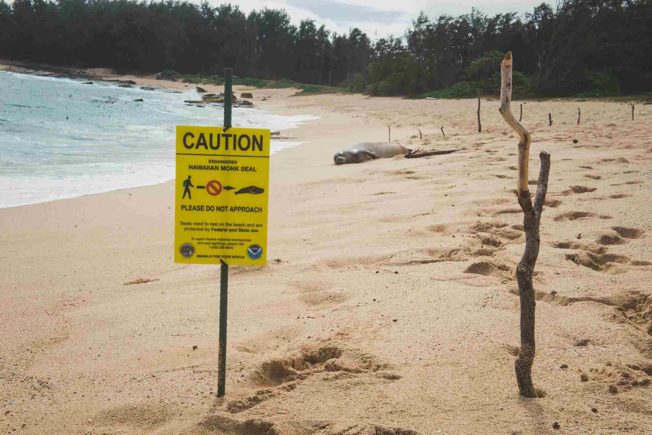 Disturbing a Hawaiian monk seal is illegal. Violators face a hefty fine.