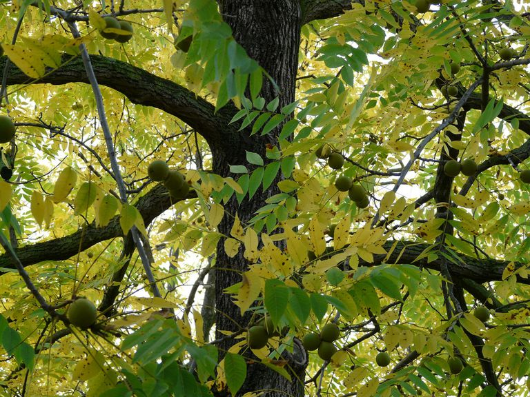 Black walnut tree with walnuts growing on branches.