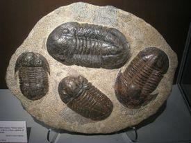 Fossil trilobites