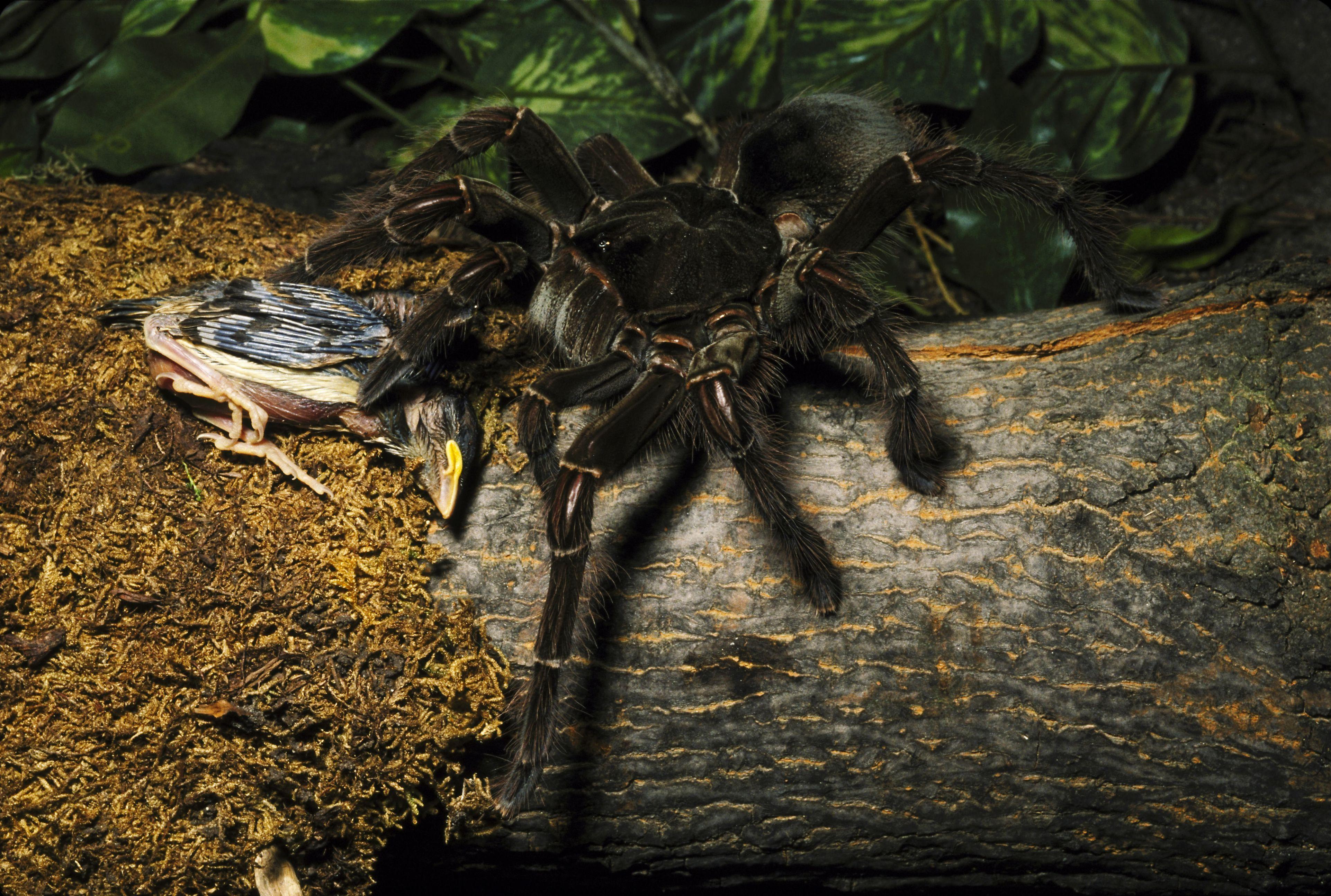 Bird eating spider eating a bird.
