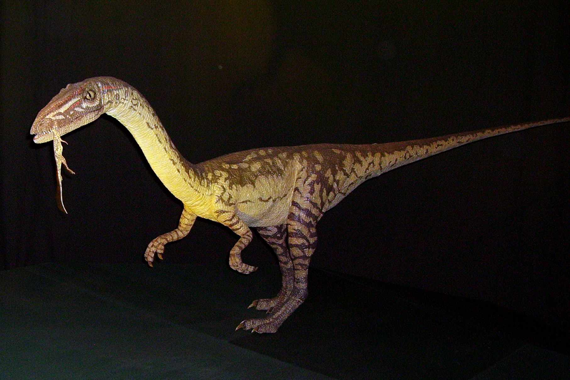 A 3D modeled coelophysis, a dinosaur of New Mexico