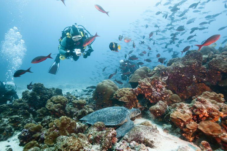 Diver Viewing Green Sea Turtle, Galapagos Islands
