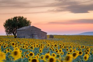 Provence, Sunflowers field