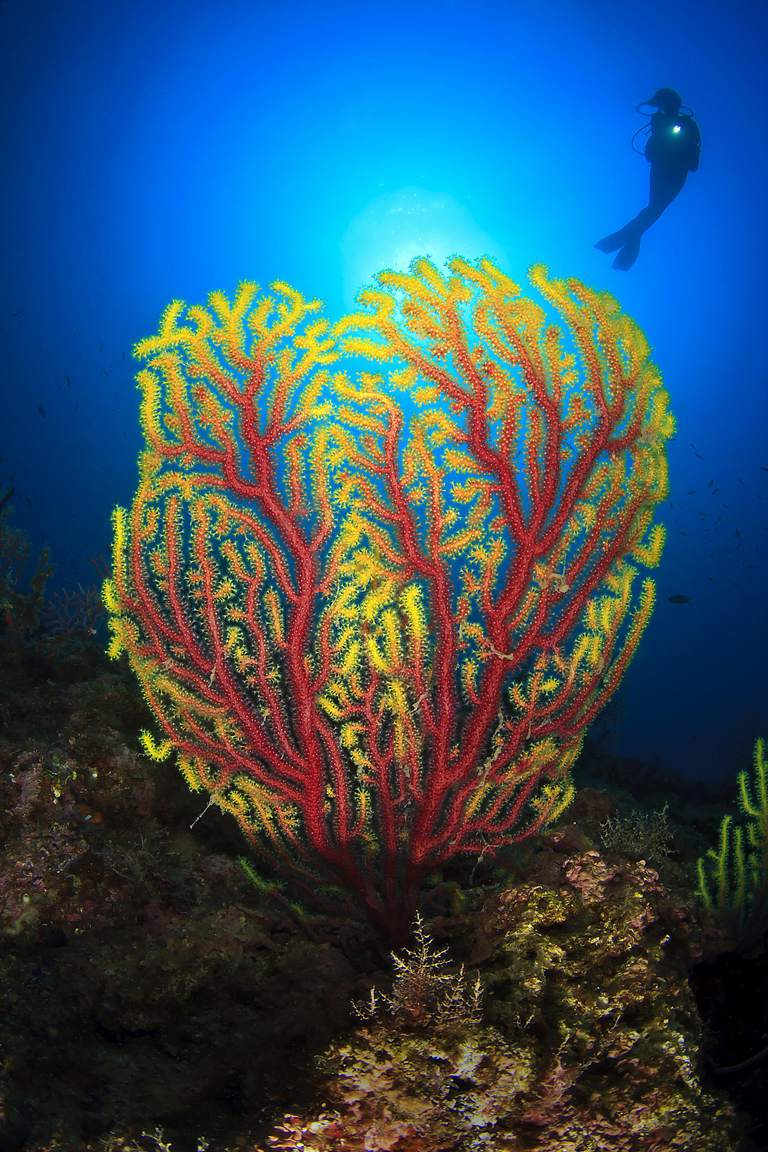 Spectacular facts about sea fans gorgonians colorful gorgonian publicscrutiny Choice Image