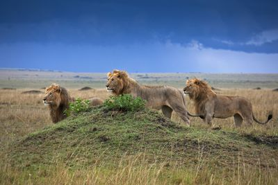 lions on savanna 56a09a753df78cafdaa327a6