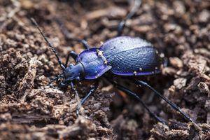 A closeup of a ground beetle
