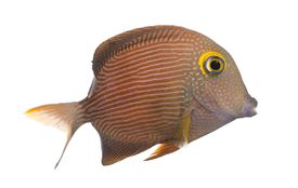 Side view of a Kole Tang, Ctenochaetus strigosus