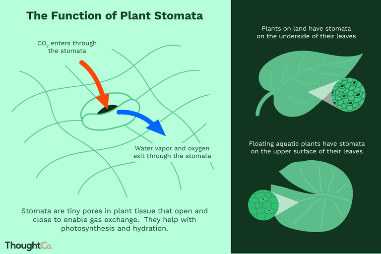What is the Function of Plant Stomata?