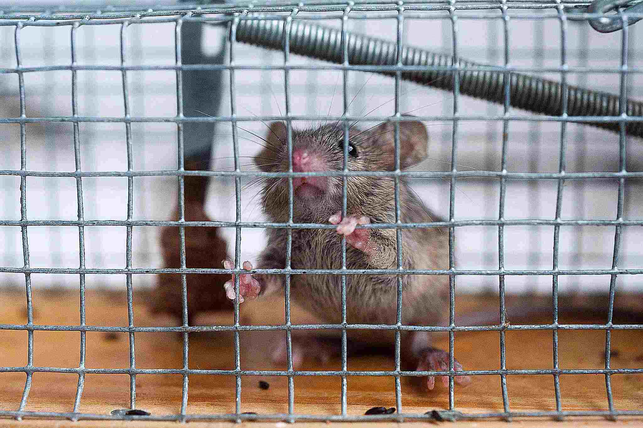 A mouse in a cage symbolizes Max Weber's concept of the iron cage of bureaucracy