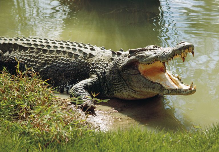 An alligator on the edge of a body of water.