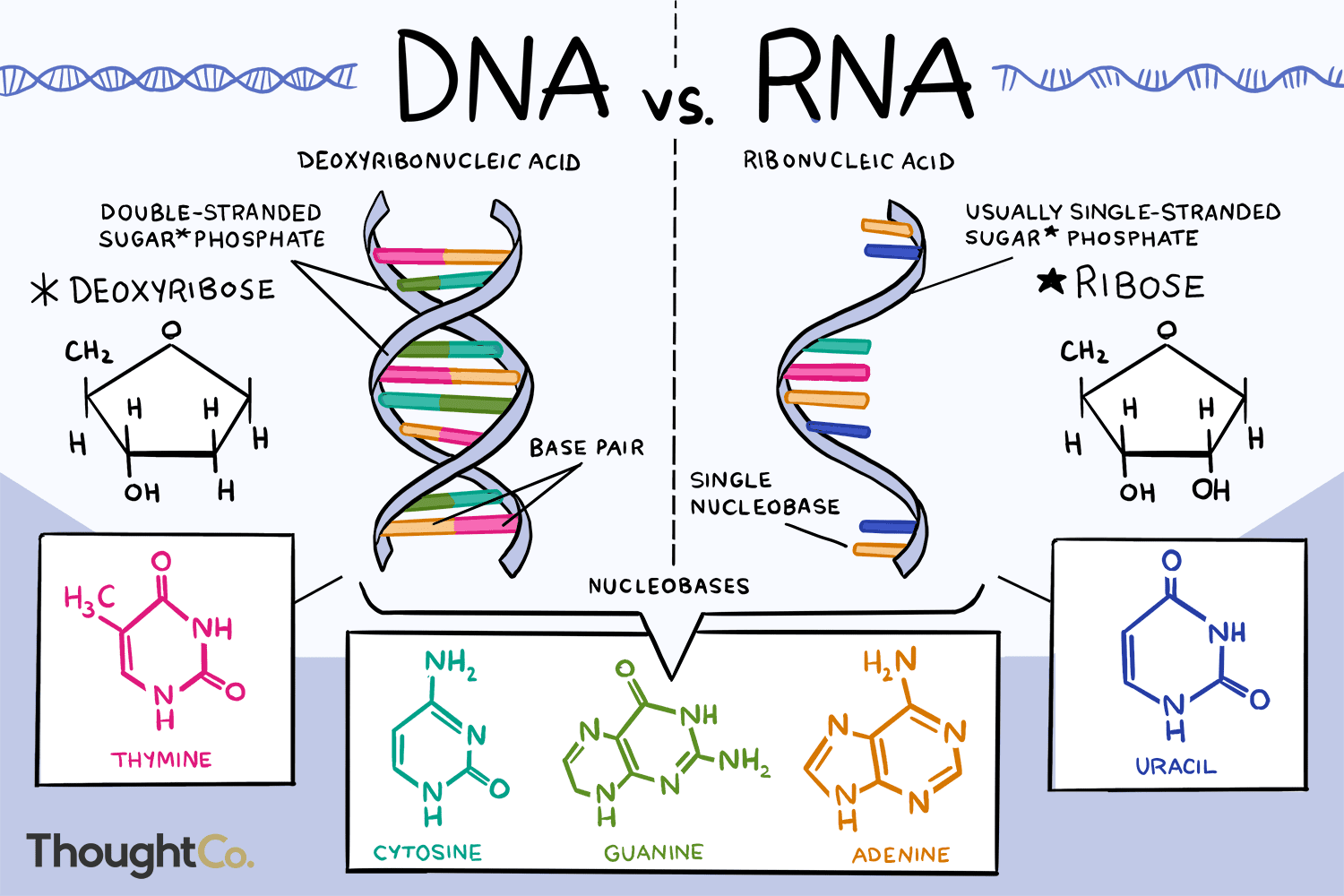 label the diagrams of dna nucleotides and bases the differences between    dna    and rna  the differences between    dna    and rna