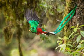 A Male Resplendent Quetzal (Pharomachrus mocinno) in Flight