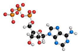 The adenosine triphosphate (ATP) molecule is formed by phosphorylation of adenine.