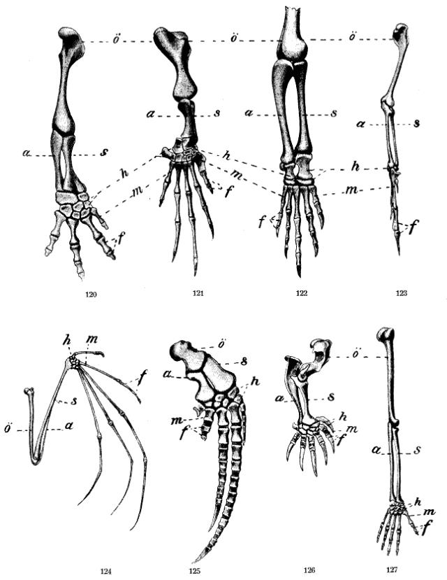 Homologous limbs of various species