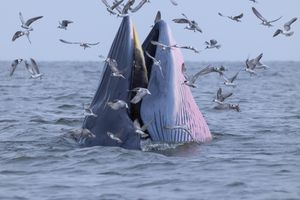Bryde's Whale in Gulf of Thailand. Bryde's whales are mysticetes