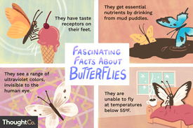 Fascinating facts about butterflies