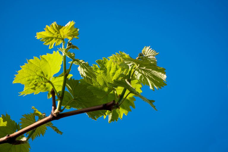 Young grapevine leaves