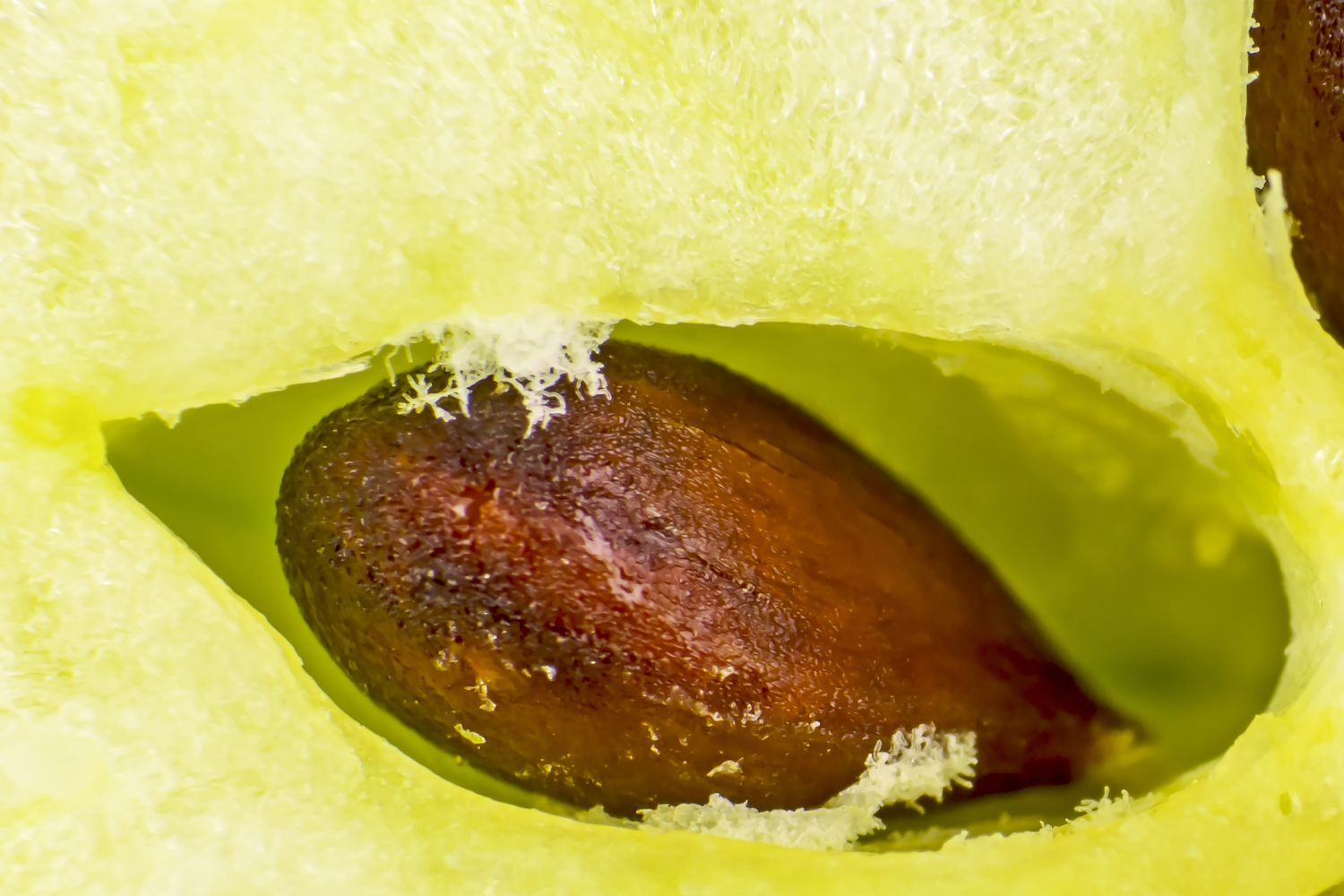 Apple Core With Seed