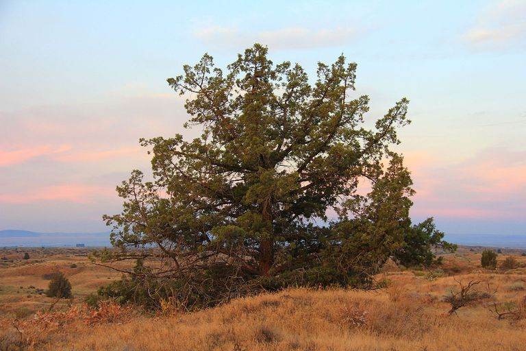 Big Juniper at Juniper Dunes in Washington Sate