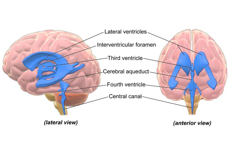 Digital diagram displaying the human ventricular system