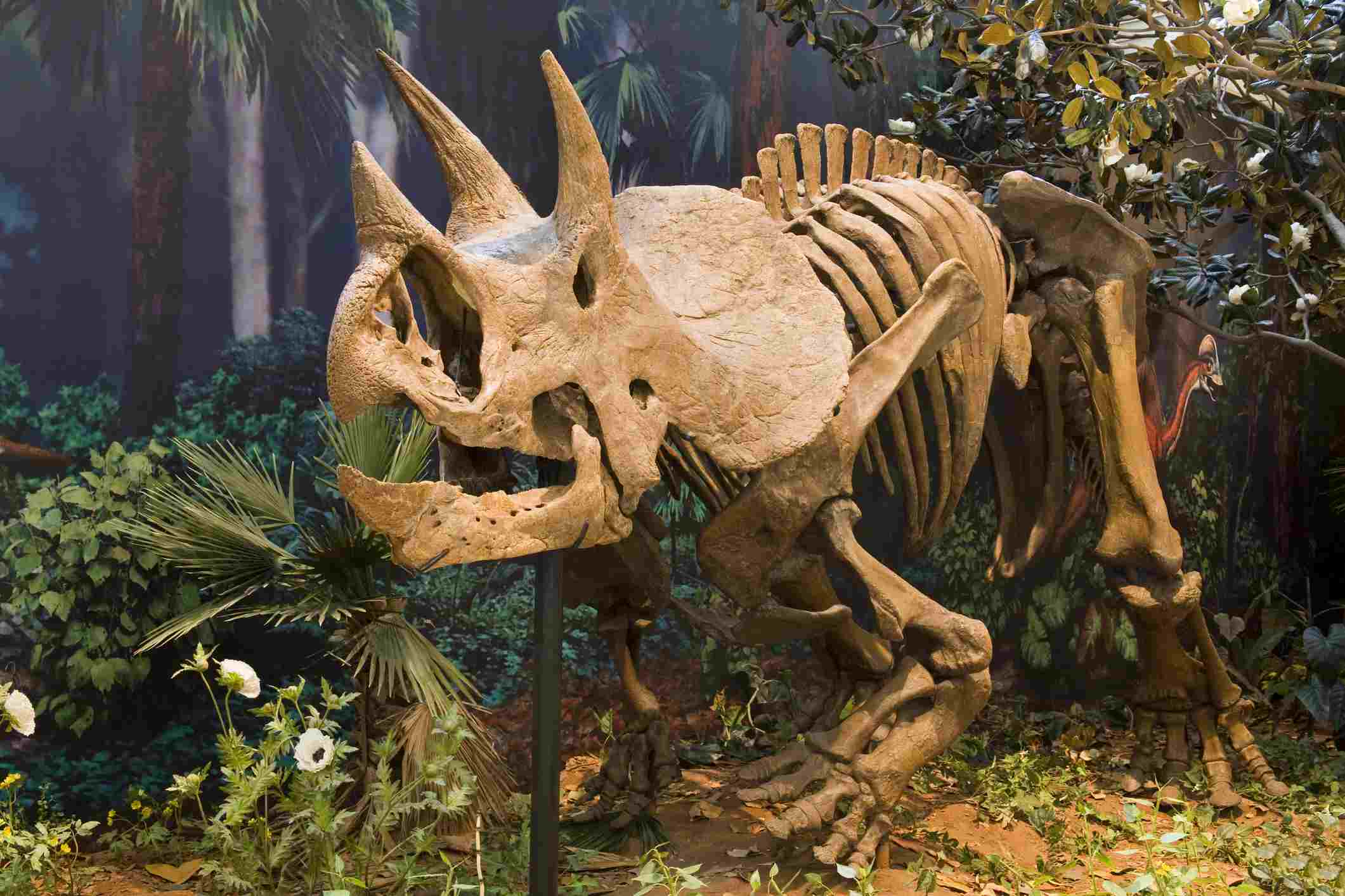 Triceratops skeleton displayed at the Carnegie Museum of Natural History in Pittsburgh, Pennsylvania