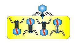 Bacteriophage Infecting a Bacterial Cell - 5