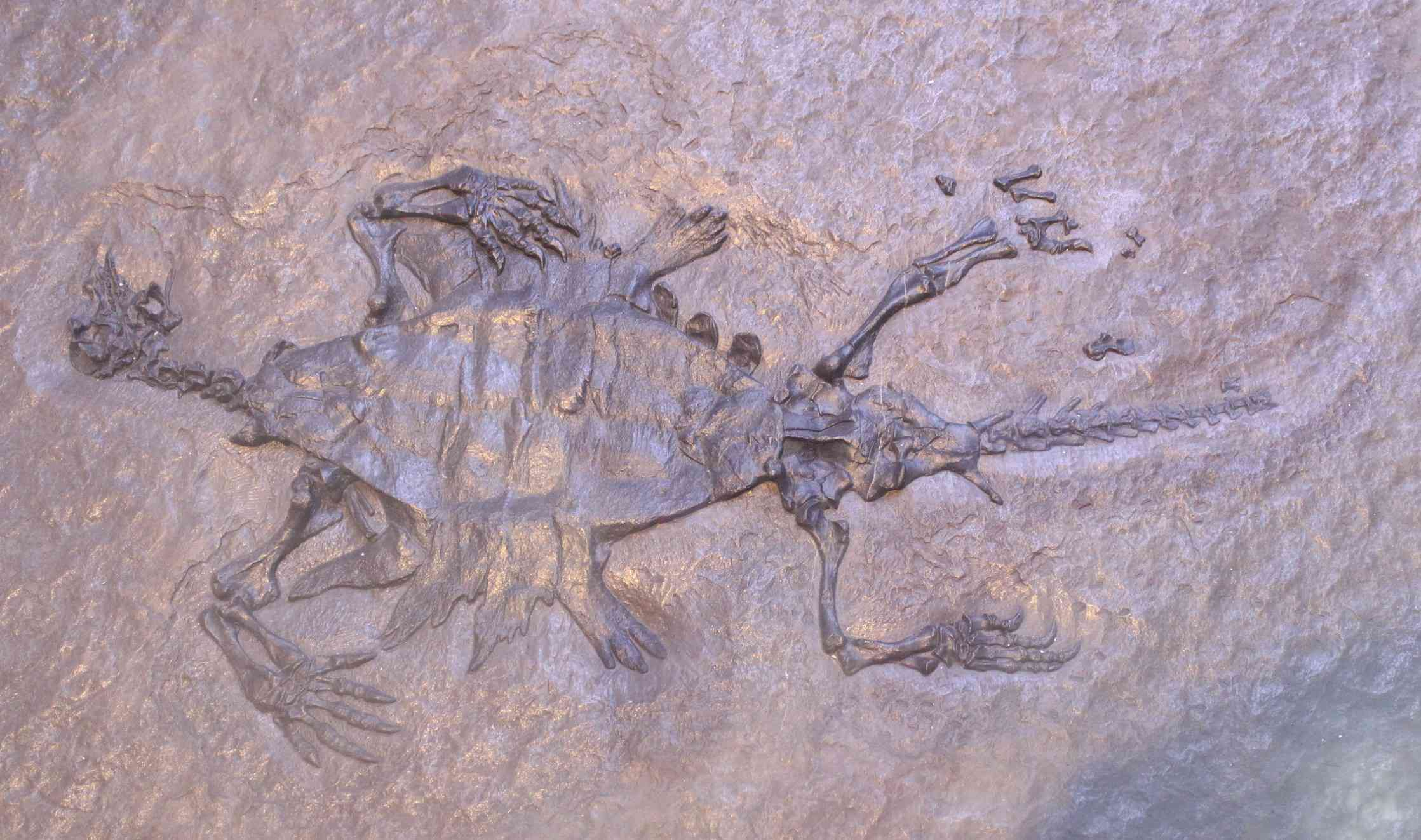 Paratype of Odontochelys semitestacea on display at the Paleozoological Museum of China.