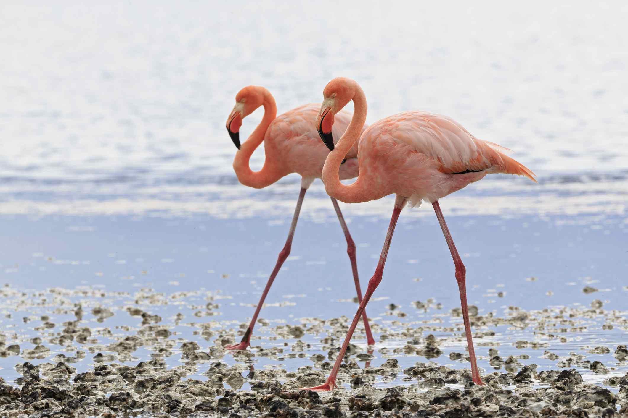 Pink flamingos standing in water