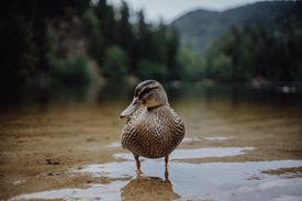 Duck standing alone