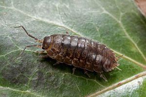 Woodlouse (pill bug, roly-poly)