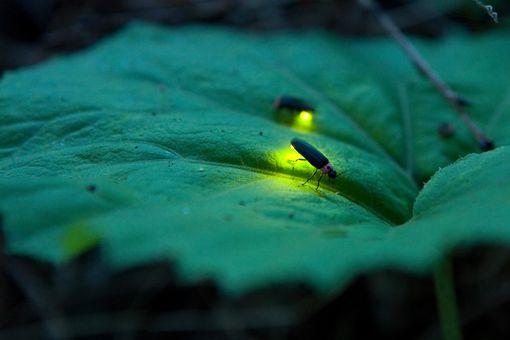 Firefly - Luciola cruciata