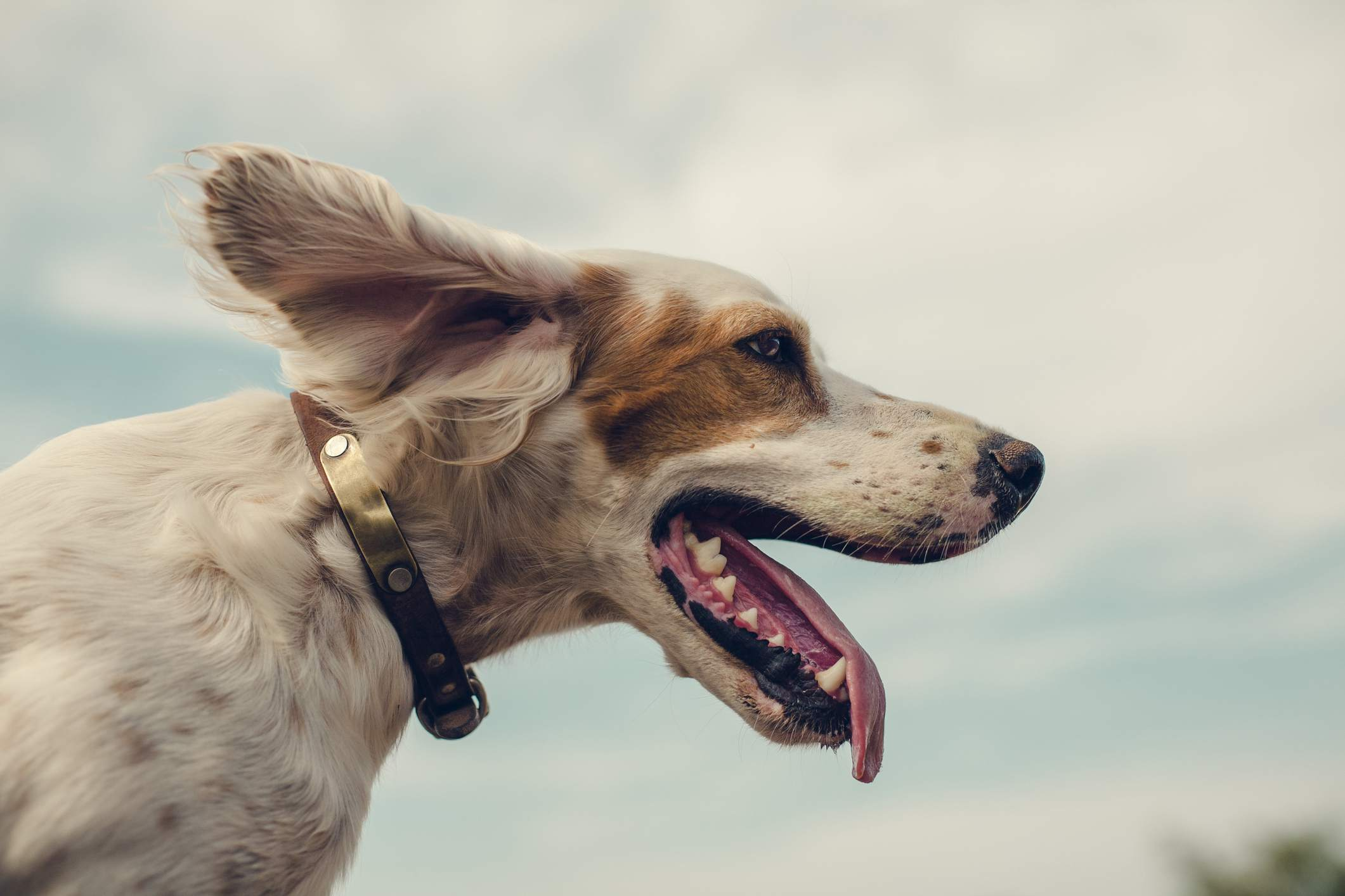 Dog looking into the wind