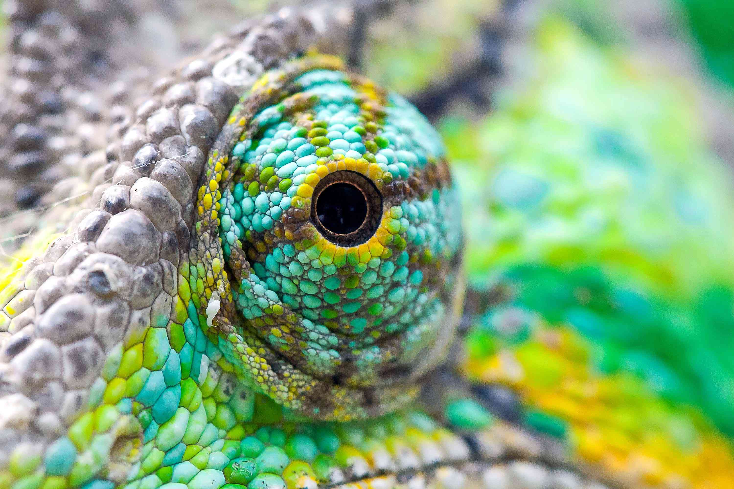The eye of a purple, green, and yellow chameleon