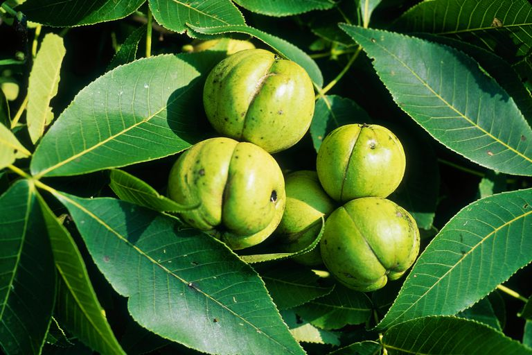 Trees With Pinnate Leaves Hickory Ash Walnuts