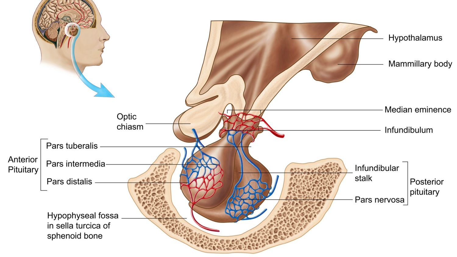 Pituitary Gland Function And Hormone Production