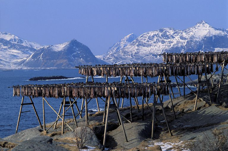 Fish Drying on Racks in Nordland County Norway