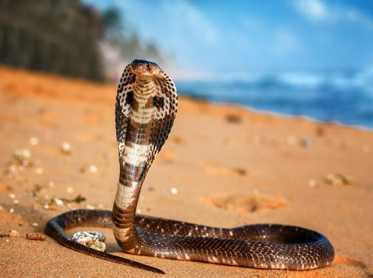 King cobra on beach
