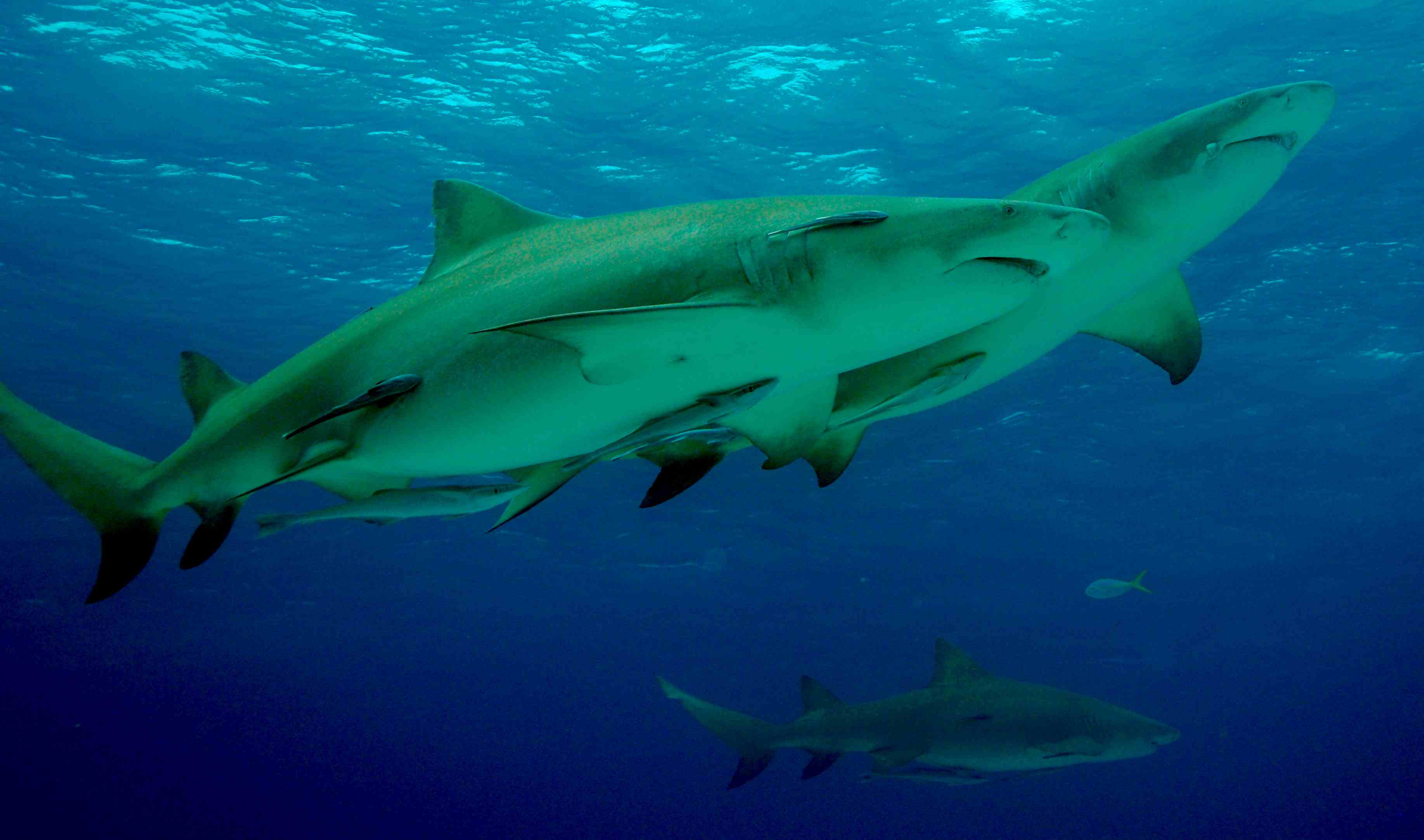 Lemon sharks live in groups and are believed to form friendships with each other.