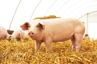 Pigs - The Domestication History of Sus Scrofa