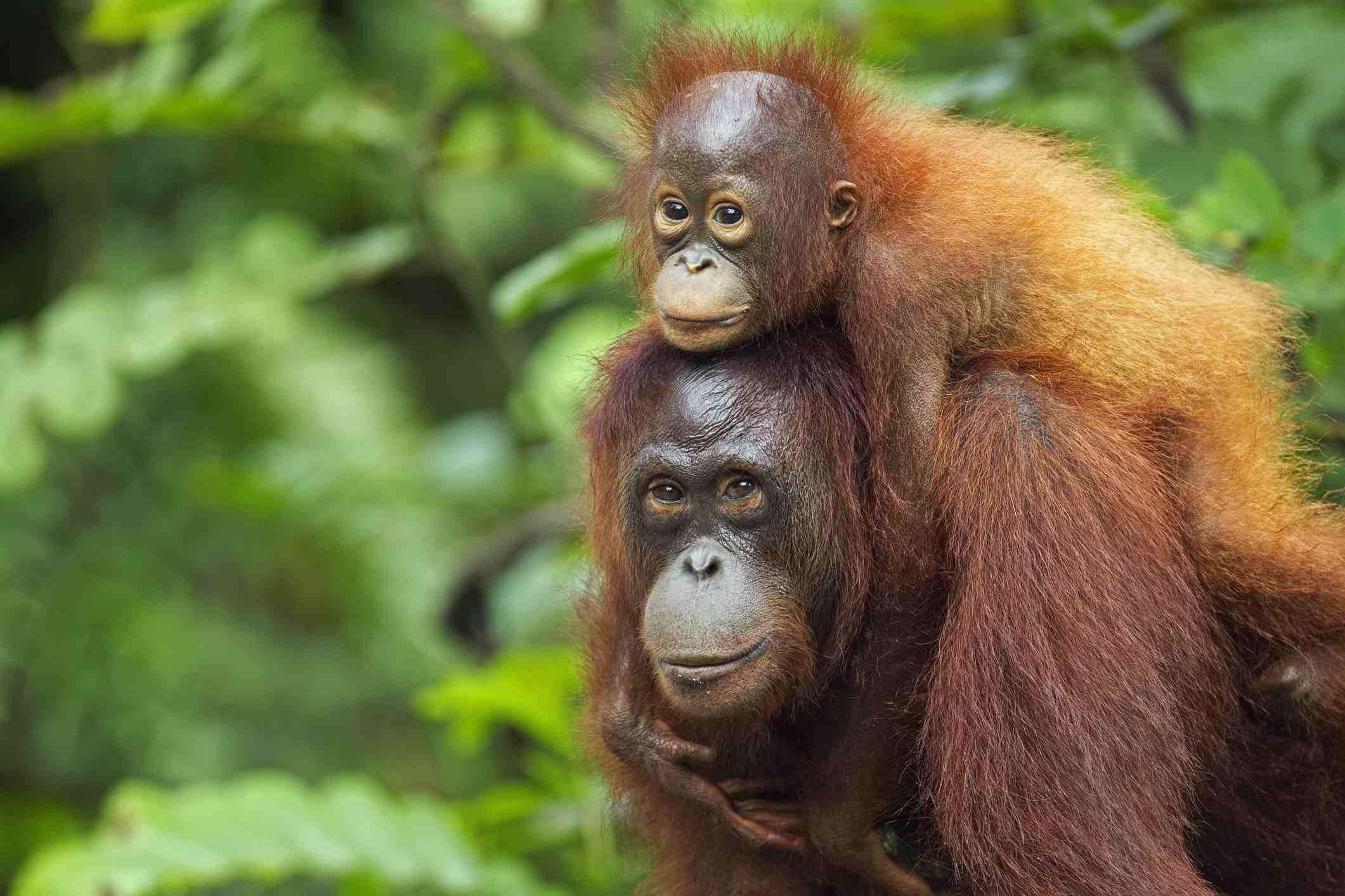 A baby orangutan on a parent orangutan