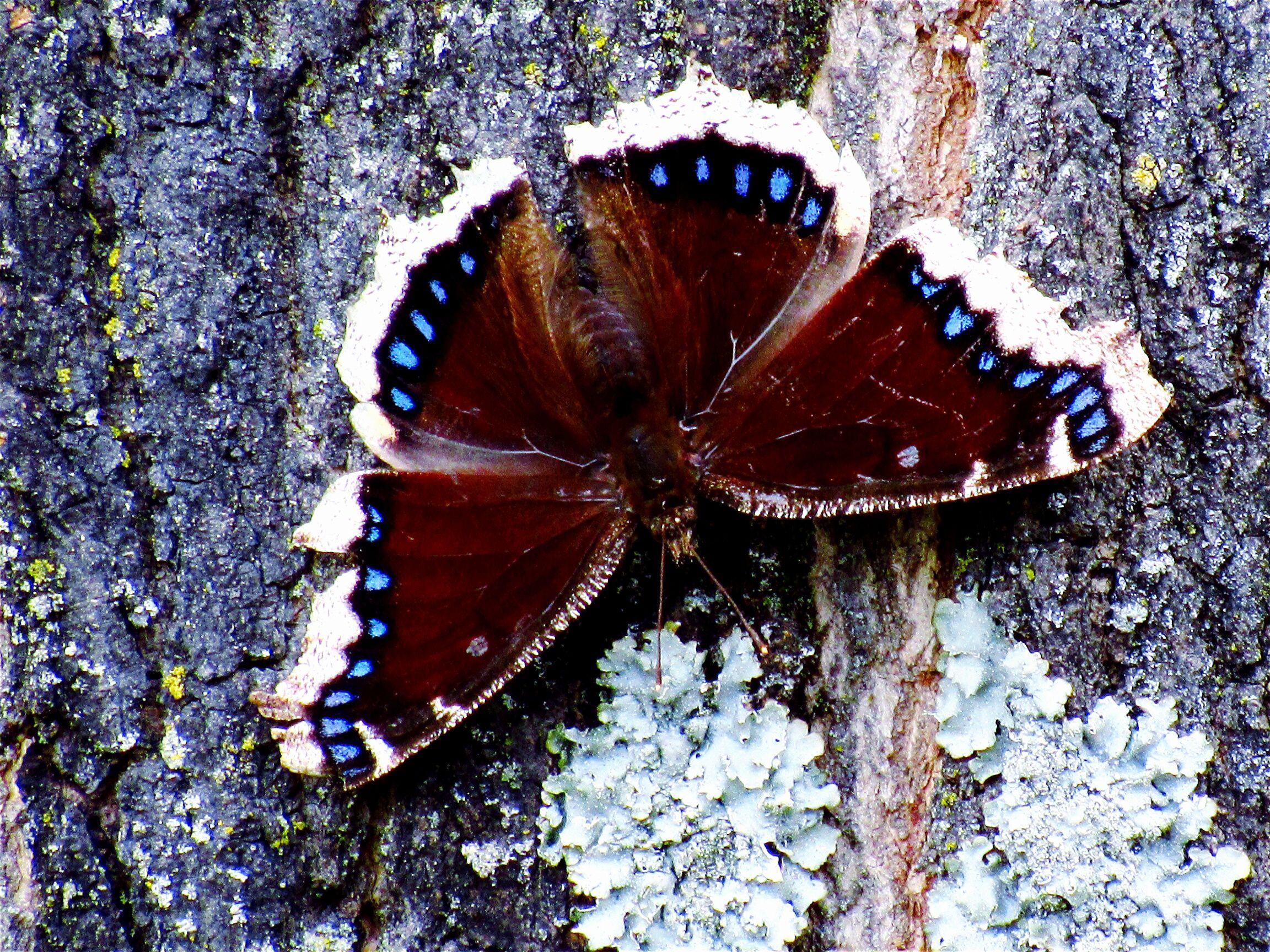 Mariposa alimentándose de la savia de los árboles.