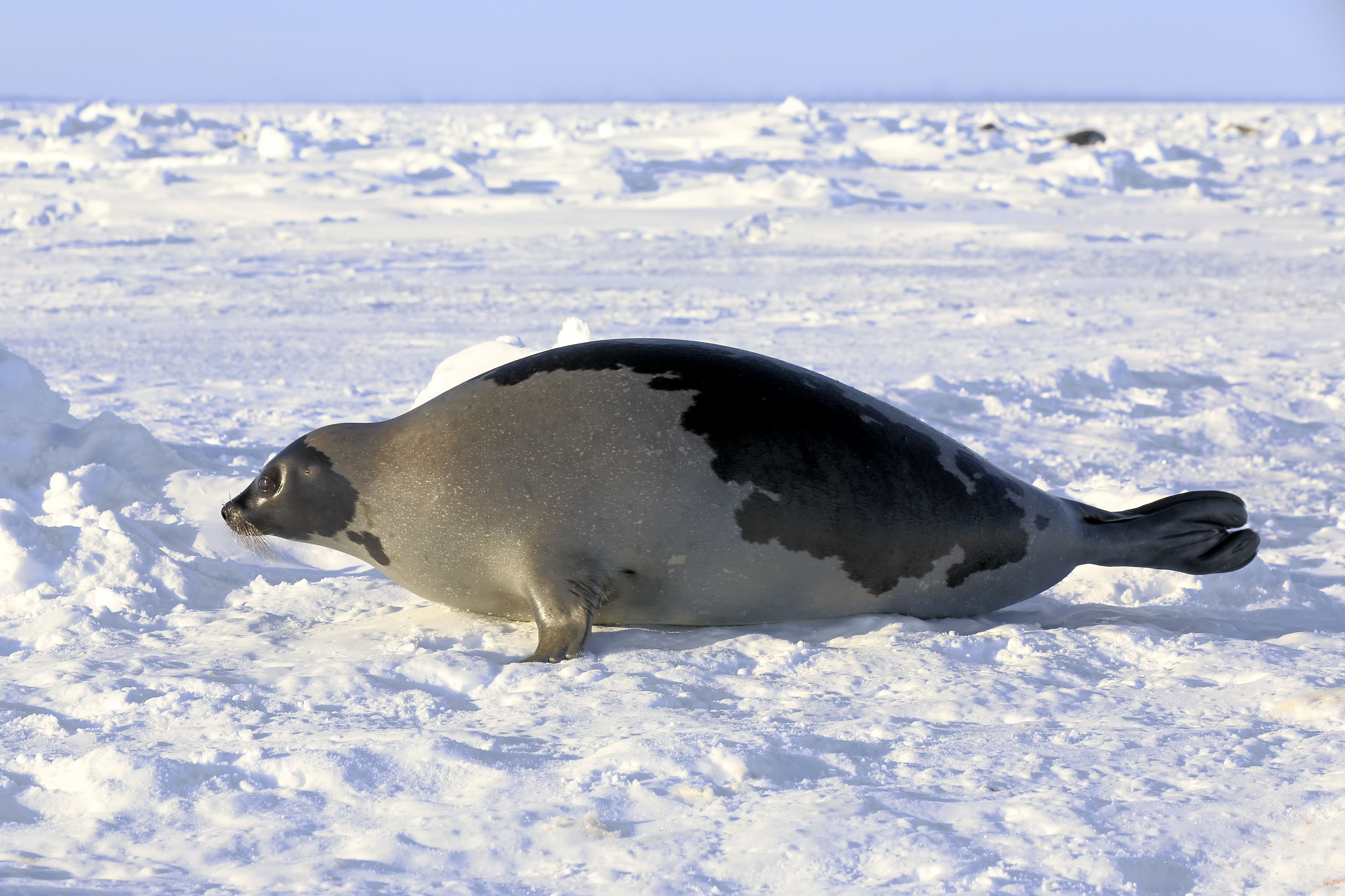 Interesting Facts About the Harp Seal