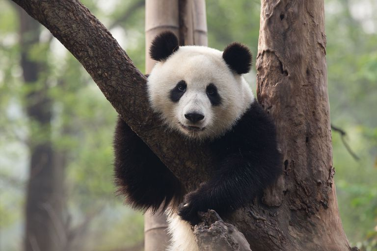 The giant panda is the WWF flagship species.