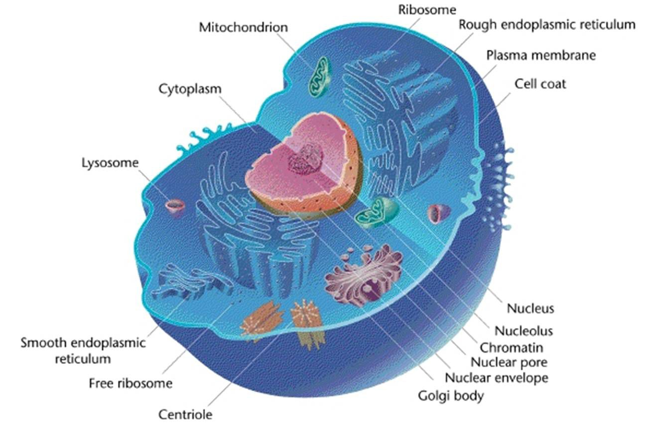 Animal Cells And The Membrane Bound Nucleus Simple Plant Cell Diagram Labeled For Kids A Typical With Organelles