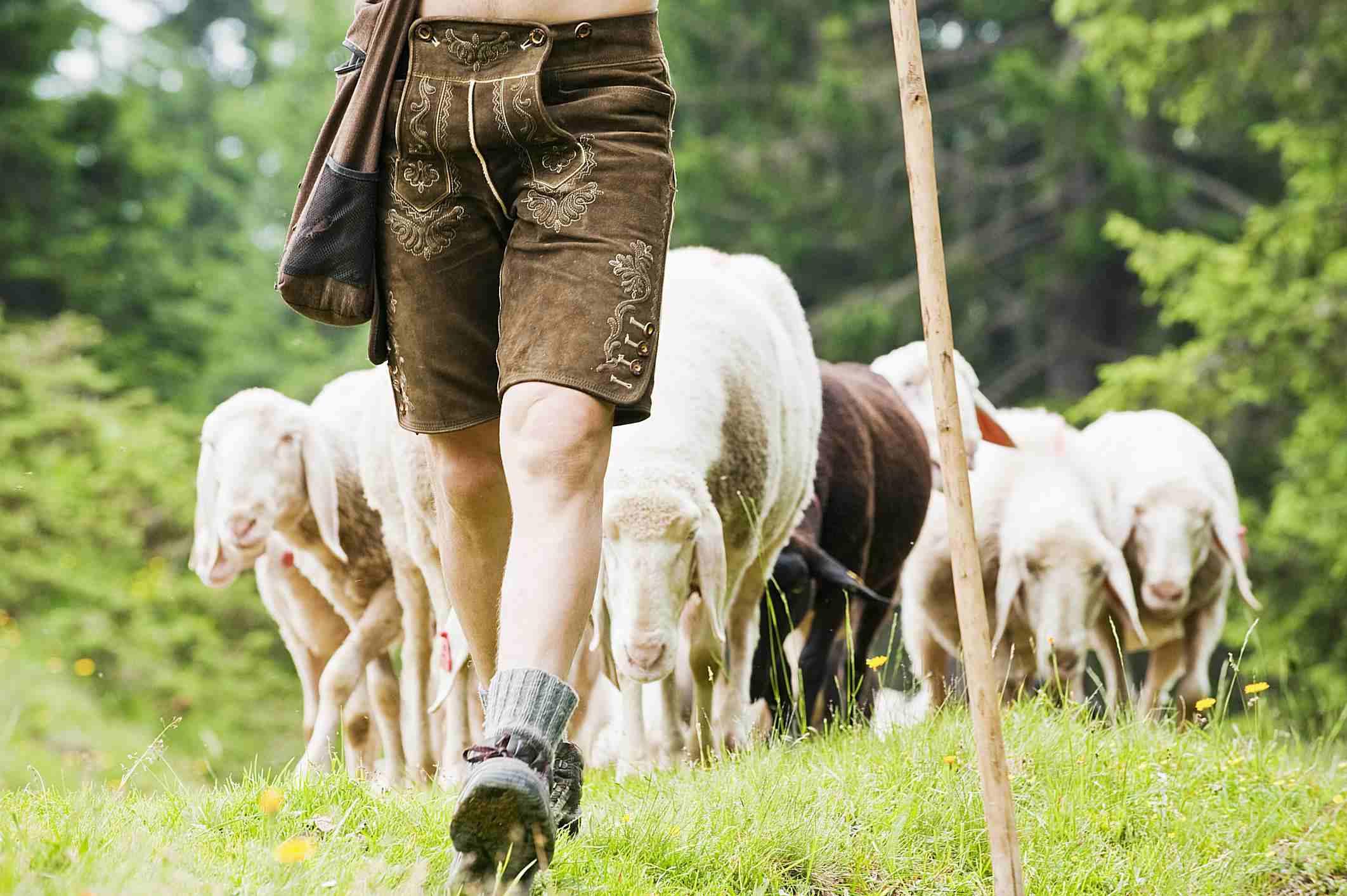 a man leading sheep