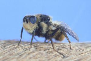 Close up of a botfly