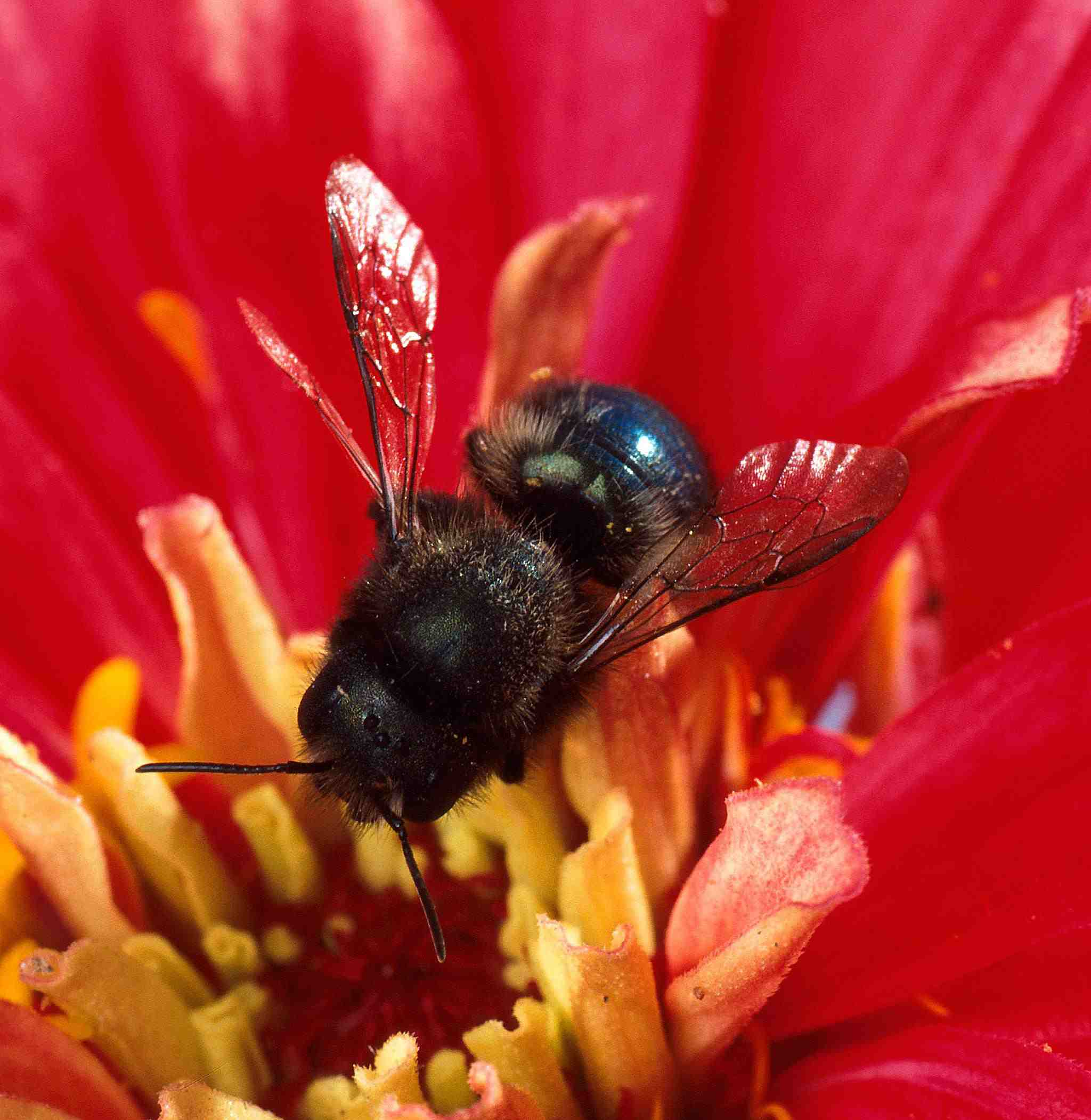 The 10 Most Important Native Pollen Bees