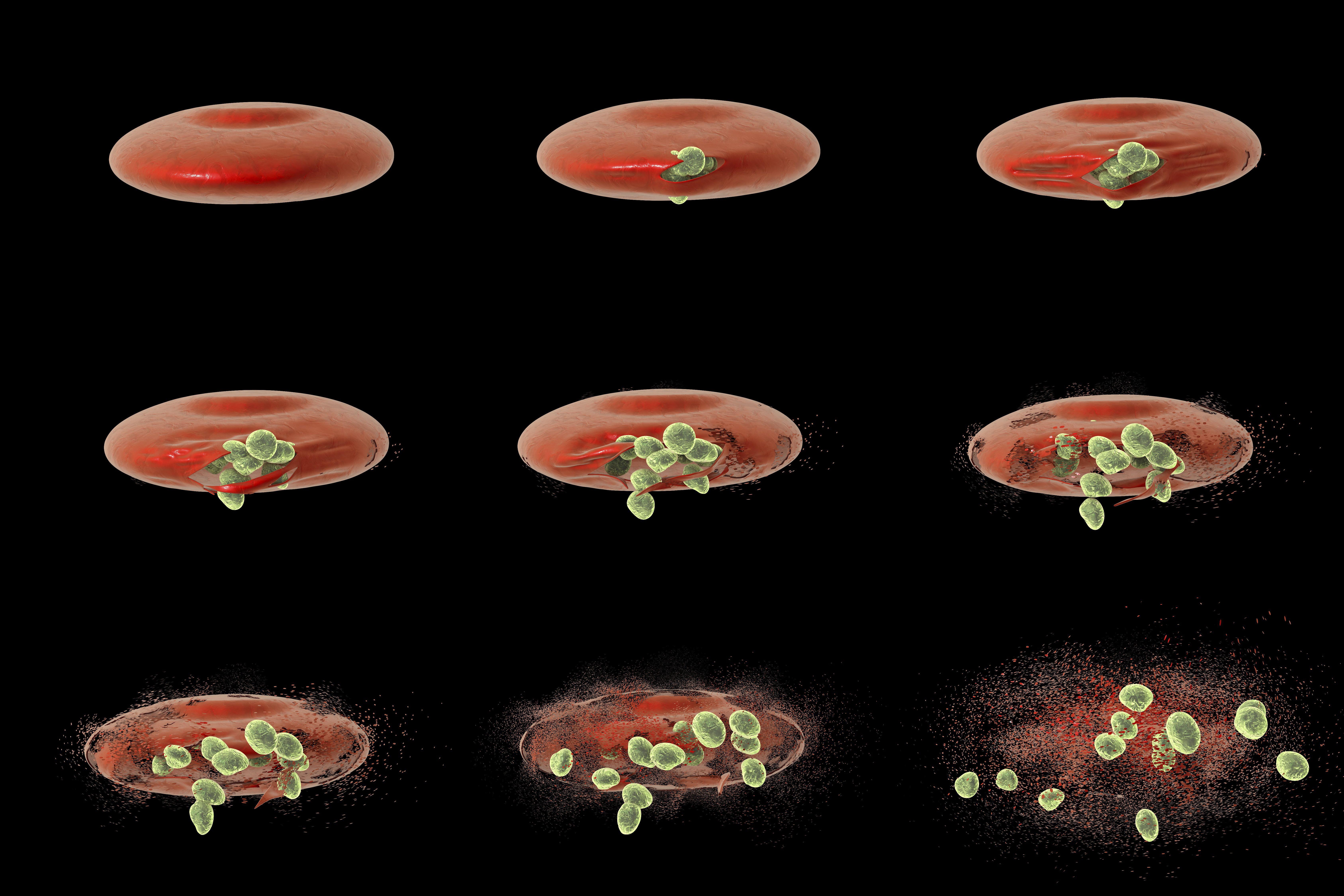 Malaria merozoites ultimately rupture red blood cells, dispersing more parasites